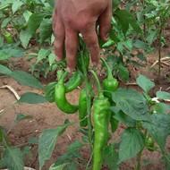 Plantaža paprike