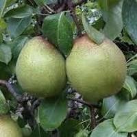 Kruška - Passe crassane - sadnice