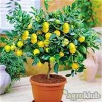Sadnice agruma