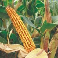 Sjeme hibridnog kukuruza Bc 282 (FAO 280) - kvalitetan zuban