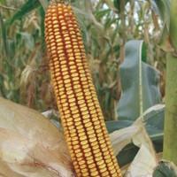 Sjeme hibridnog kukuruza PAJDAŠ (FAO 490) - kvalitetan zuban