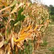 Sjeme hibridnog kukuruza Bc 532 (FAO 520) - zuban