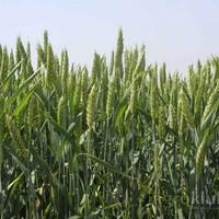 Ozima pšenica - Bc RENATA
