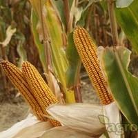 Sjeme hibridnog kukuruza Bc 344