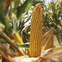 Hibridni kukuruz BC 525 (FAO 510)- zuban