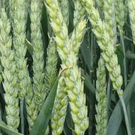 Ozima pšenica- BC Mandica