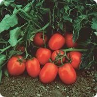 Rajčica Čibli F1 2.500 sjemenki