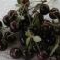 Višnja - Oblačinska - sadnice