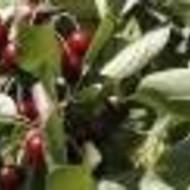 Višnja - Rexelle - sadnice