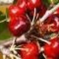Trešnja - Early burlat - sadnice