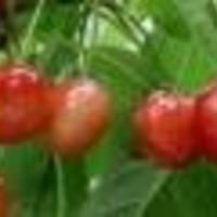 Trešnja - Majska rana - sadnice