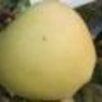 Jabuka - Golden delicious - sadnice