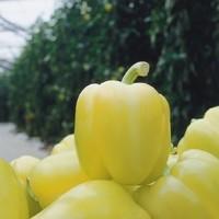 Paprika Blondy - 500 sjemena