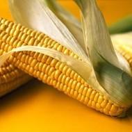 OSSK 617 25 MK sjeme kukuruza