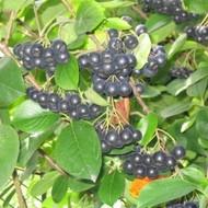 ARONIJA sadnica borovnice