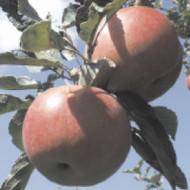 Jabuka - Idared - sadnice