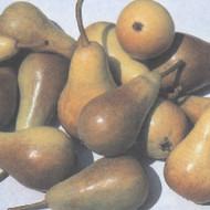 Kruška - Lipanjska ljepotica - sadnice
