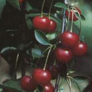 Višnja - Ujfehertska - sadnice